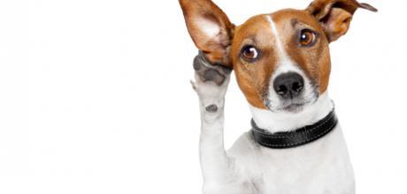 Чистка ушей у собаки