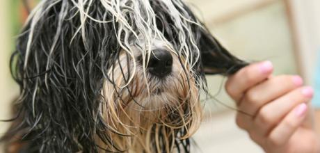 Как бороться с колтунами у собак