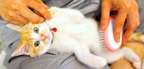 Как правильно вычесывать кошку?