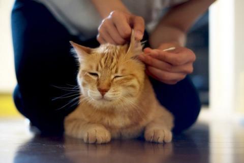 Чистка ушей у кошек: что нужно знать хозяину?