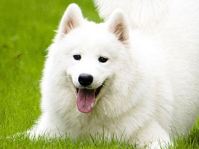 Шампуни для белых собак