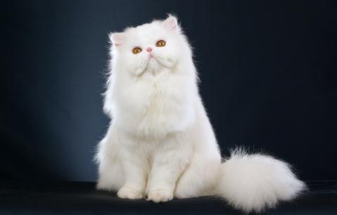 Уход за белой кошкой