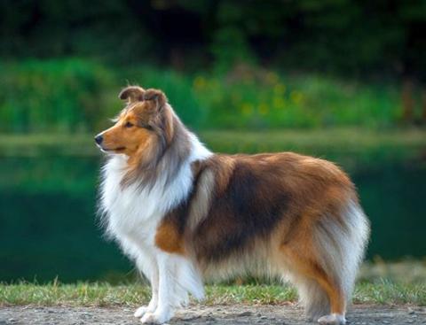 собака шелти фото