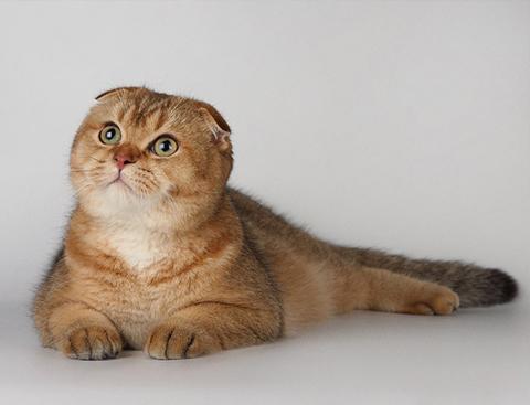 Скоттиш фолд (шотландская вислоухая кошка)