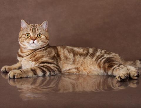 Скоттиш страйт (шотландская прямоухая кошка)