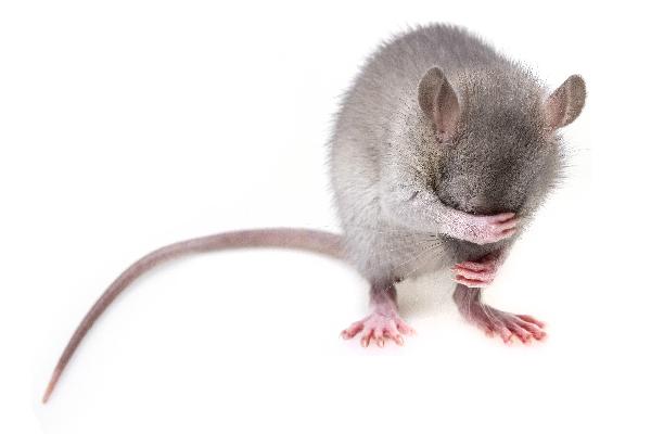 Как купать домашнюю декоративную крысу
