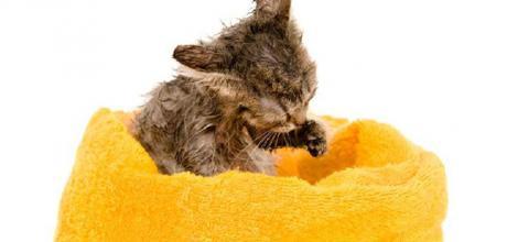 Купание и уход за шерстью котенка