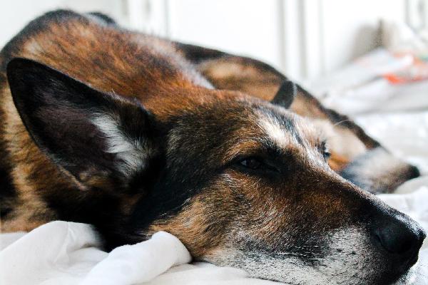 Тусклая шерсть у собаки – причины и что делать