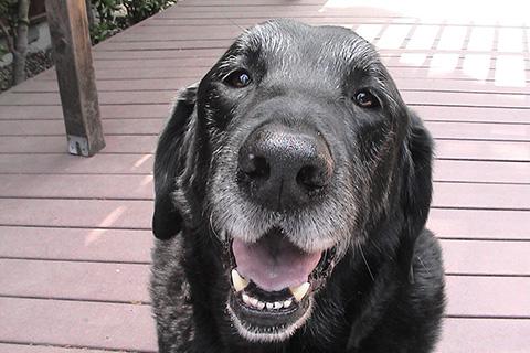 Уход за пожилой собакой