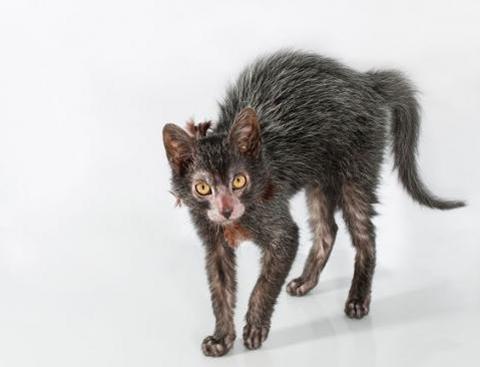 Ликой (кошка-оборотень)