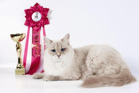 Готовим кошку к выставке